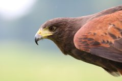 harris-hawk-hawk-harris-bird-162354
